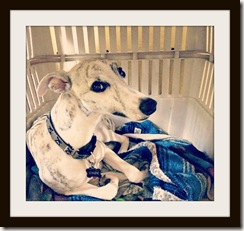 adorablewhippet